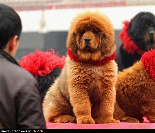 goggie ob teh week puppy red tibetan mastiff - 4751218432