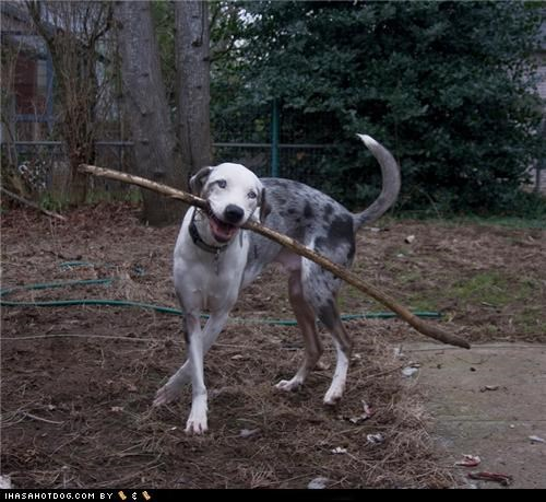 catahoula,dance,dirt,hose,stick,trees,yard