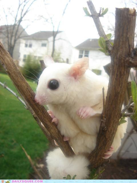 adorable,albino sugar glider,baby,imagining,ninja,ninjas,squee spree,sugar glider