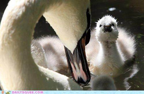 adorable baby beautiful chick ducklings jealous jealousy mean natural not swan swans teasing ugly duckling
