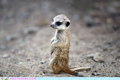 adorable baby cuteness happiness innate meerkat mere merely pun