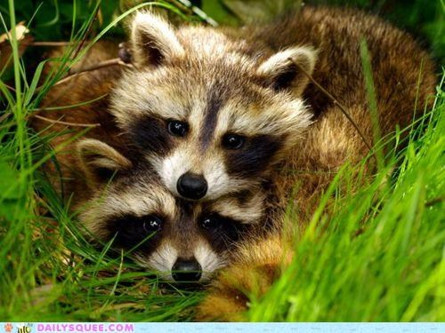 adorable Babies baby cub cubs epiphany head heart heart-shaped raccoon raccoons shape - 4751709440
