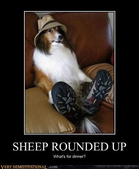 dogs hilarious round up sheep tired - 4752687872
