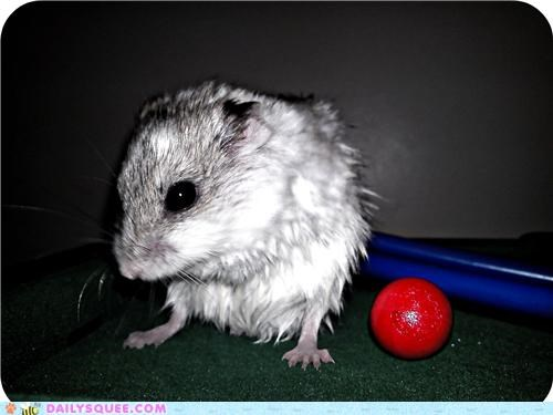 after,baby,bath,comparison,dwarf hamster,estimate,hamster,playing,pool,pool shark,post,reader squees