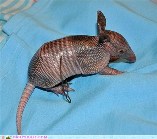 adorable,armadillo,armadillos,armor,Babies,baby,context,mother,tank,tank-like,unnecessary