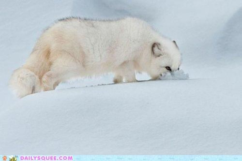 acting like animals,arctic fox,cold,lolwut,smell,smelling,sniffing,snow,strange,winter,zen