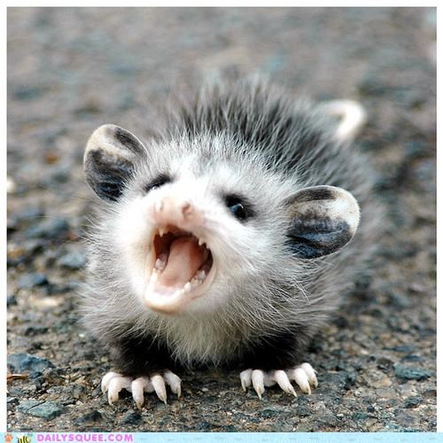 adorable,angry,baby,baring,business,cute,opossum,possum,serious,teeth,upset