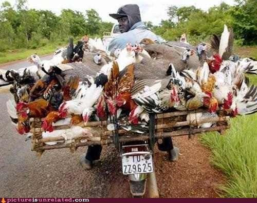 chicken door to door sales motorcycles wtf