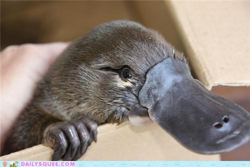 adorable,baby,friends,friendship,impish,peeking,platypus,squee spree