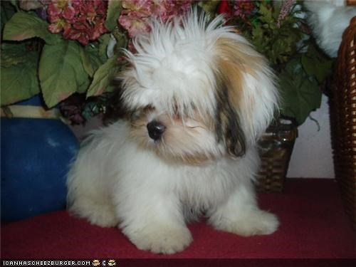 cyoot puppeh ob teh day flowers Fluffy lhasa apso puppy shaggy - 4767936512
