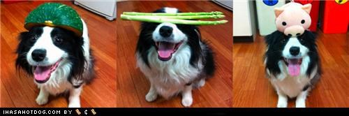 balance,border collie,celery,clever,hat,head,melon,piggie,trained,trick