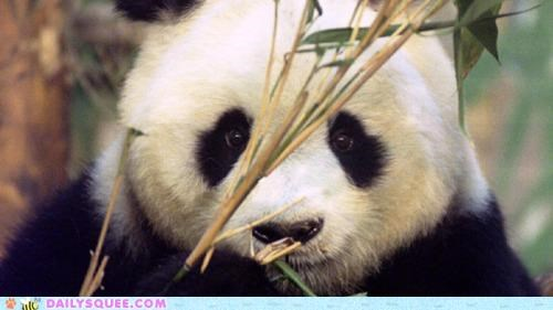 34 34 years old acting like animals age giant panda ming ming obituary oldest panda r-i-p rip world - 4770474240