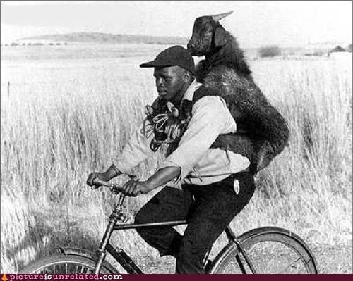 bicycle,goat,man,wtf