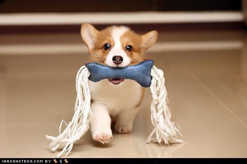 animated gif bone corgis gifs puppy Thor toy - 4771409408