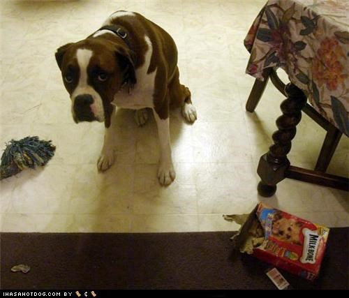boxer cookies goggie ob teh week milk bones Sad shame - 4771544832