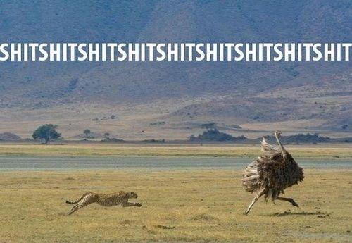 cheetah memes cheetah Memes funny - 4771589