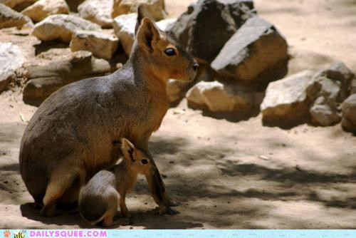 baby ears mara maras mother patagonian mara whatsit whatsit wednesday