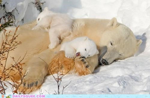 Babies baby bear bears children cub cubs nodding nomming polar bear polar bears - 4771952128