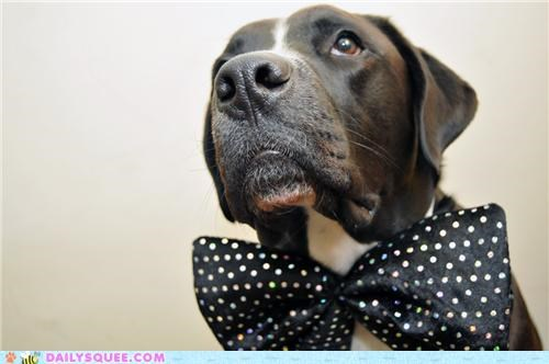 bow tie boxer dressed up mixed breed reader squees tie - 4773044736