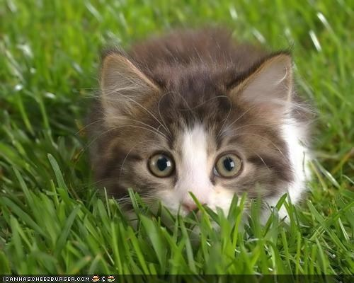 cyoot kitteh of teh day,eyes,grass,hiding,nature,outside,ready to pounce
