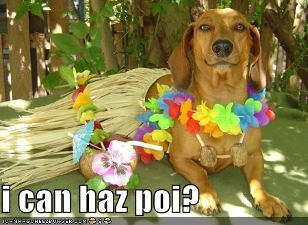 dachshund,do want,grass skirt,Hawaii,i can has,lei,noms,poi,question