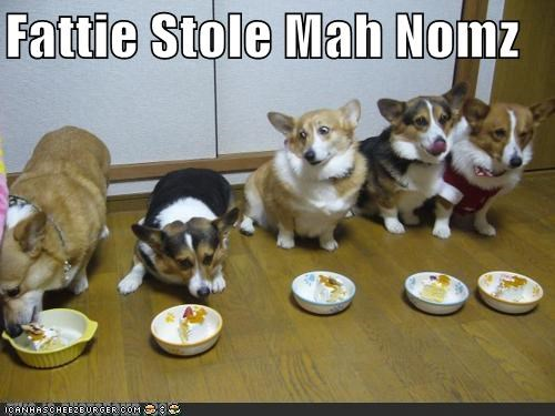 accusation,accusing,corgi,corgis,fat,fatty,noms,stole,upset