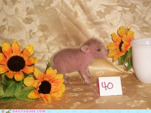 10 1-10 scale 40 adorable baby pageant perfect score pig piglet score - 4775276800
