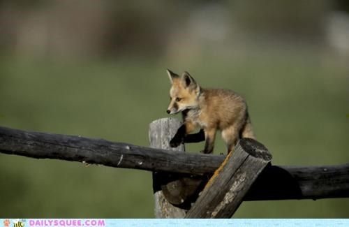 baby,balancing,bill amend,cub,doing it right,double meaning,fence,fox,FoxTrot,pun,walking