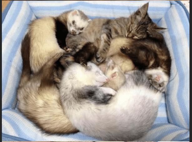 ferrets kitten cute story funny - 4776197