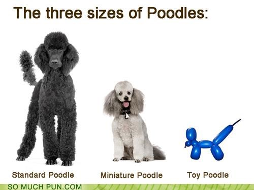 double meaning,miniature,poodle,poodles,sizes,standard,three,toy,twist