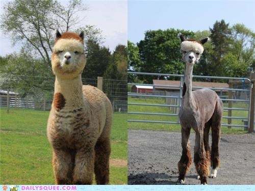 alpaca,ashamed,dignity,embarrassed,fur,haircut,hairless,lack thereof,sheared,shearing