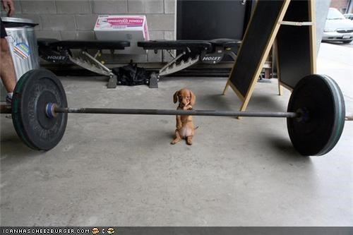 barbell cyoot puppeh ob teh day dachshund exercise puppy wieghts work out - 4777702144