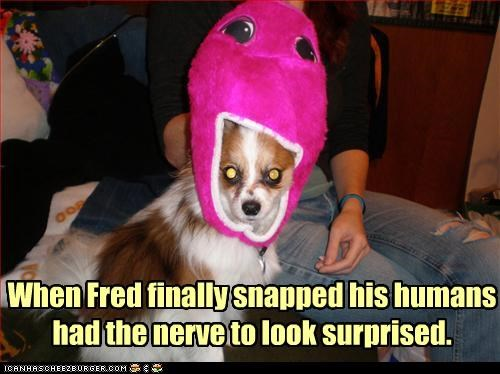 costume do not want dressed up humans mixed breed papillon surprised upset - 4778125312