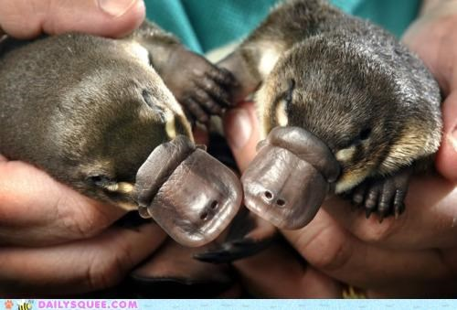 alliteration,Babies,baby,conclusion,end,pair,platypus,squee spree,two