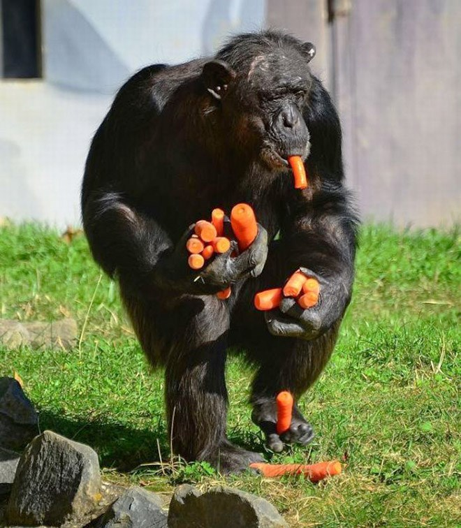 cute apes funny animals carrots - 4778757