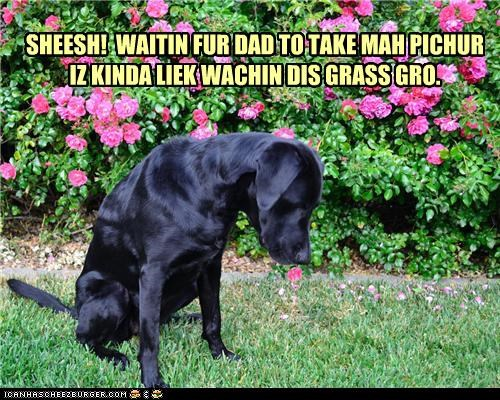 bored,comparison,dad,grass,grow,impatient,labrador,picture,sheesh,simile,take,upset,waiting,watching