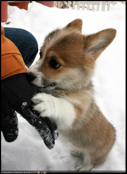 corgi,cyoot puppeh ob teh day,gloves,hand,sniff,snow