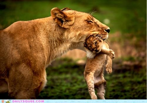 baby carried carrying cub lion lioness lions mother sleeping - 4782390272