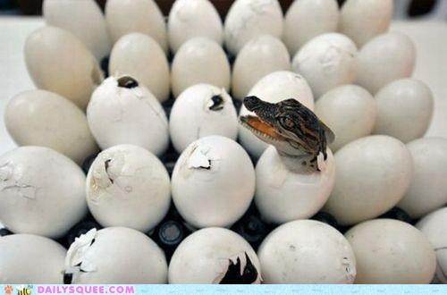 baby,crocodile,egg,eggshells,hatched,hatching,newborn,siblings