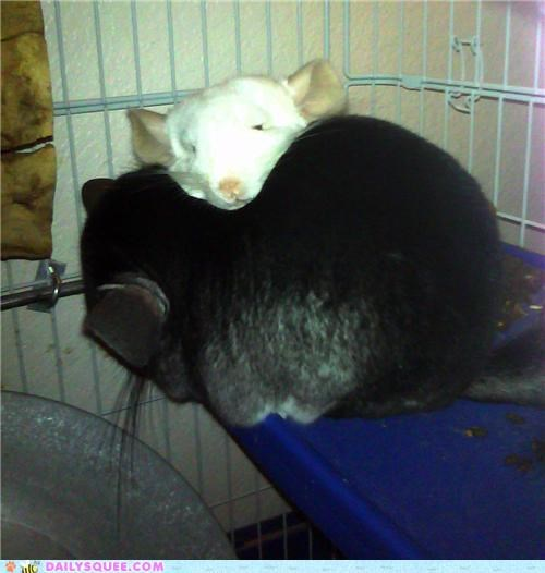 chinchilla chinchillas cuddling Pillow reader squees siblings sister snuggling - 4787586048