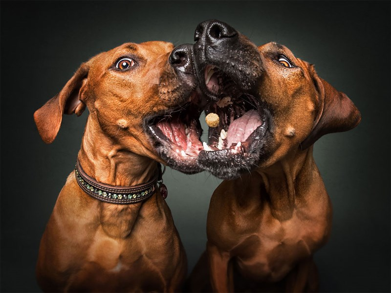 photograph dogs treats midair pairs - 4790277