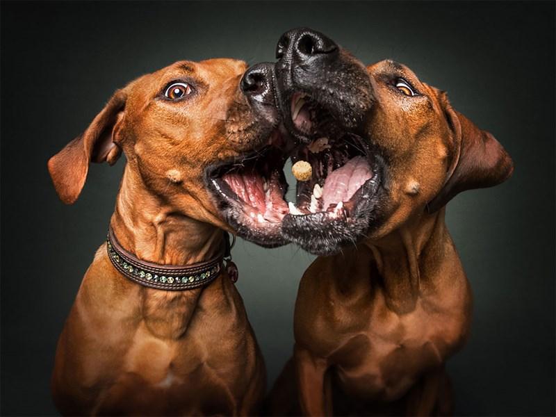 photograph dogs treats midair pairs - 4790277