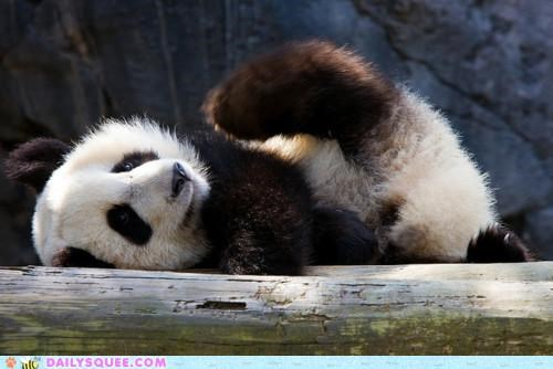 advice,always,baby,before,cub,exercise,exercising,panda,panda bear,squee spree,stretch,stretching