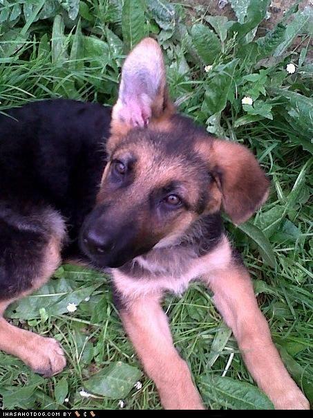 german shepherd goggie ob teh week grass puppy winner - 4791614720