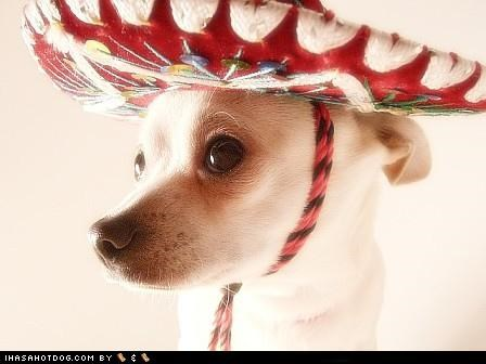 best of the week chihuahua Hall of Fame hat Mexican nachos sombrero - 4792125696
