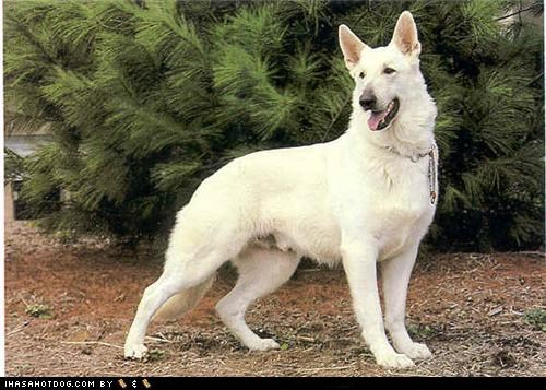 german shepherd goggie ob teh week outside tree white - 4792150784