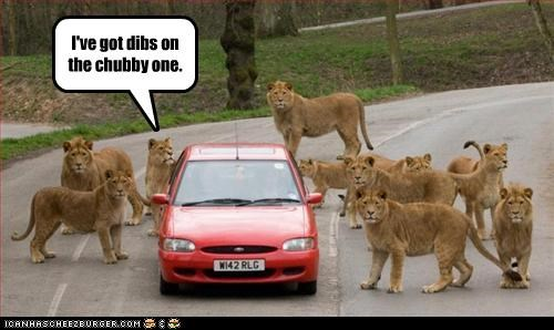 caption captioned car chubby dibs do want lion lions noms stalking - 4792910592