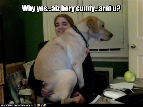 comfortable comy labrador lap question sitting very yes you