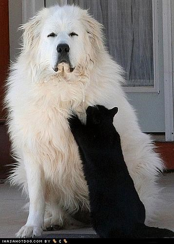 black cat,hugs,kittehs r owr friends,mixedbreed,whatbreed,white dog