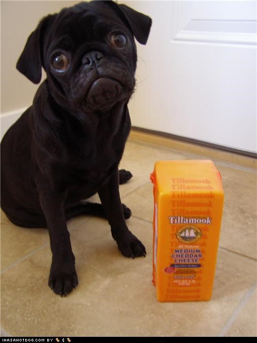 black,block,cheddar,cheese,floor,pug,tilamook